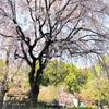 上野公園  4月8日までの桜まつり