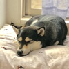 柴犬のアレルギー発症から症状が改善するまで 【大和ちゃん2019年編】