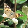 秋を彩る赤いチョウたち - アカタテハとヒメアカタテハ