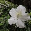 久留米ツツジ 2012/05/26