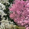 【文京区】小石川植物園 桜の開花情報