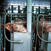 豚からの臓器移植が可能に?