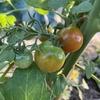 決めた!!夏はミニトマト農家になっちゃおう!!