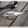 GW釣り。アジ狙うもサゴシ回遊で後の祭り。
