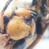 小型のオオスズメバチ? 大型のコガタスズメバチ? 樹液の虫で嫌われがちなスズメバチを紹介!