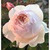 Googleのサポートセンターについて⤵️そしてまだ咲いている薔薇をご紹介❣
