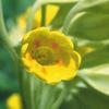 今日の誕生花「カウスリップ」サクラソウの仲間で昔からヨーロッパで親しまれてきた花!