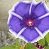 アサガオが連続して咲き続けているのはうれしい。