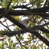各所で野鳥のさえずりが聞こえ始めました(大阪城野鳥探鳥 2017/03/19 5:55-12:15)