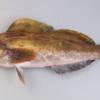 釣魚調査レポートNo.2 アイナメとクジメ