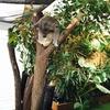 2016年7月:オーストラリア・ケアンズ6日目(コアラ抱っこ体験)