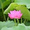❀上野 不忍池 蓮の花が咲き始めました!