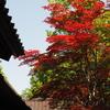 天徳院の赤モミジ