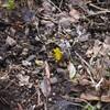 春一番の花