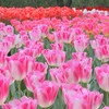 【東京都立川市】園内のサイクリングコースで巡ろう!昭和記念公園フラワーフェスティバル