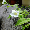 白い花 & チューリップ