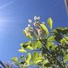 1日遅れで...すが、我がベランダ果樹園は順調に生育中🌱
