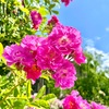 岩見沢市の観光スポット『バラ園』を散策してきました【写真39枚】