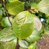 ヘレンバウアーの葉