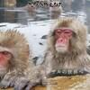 雪はなくてもスノーモンキーはかわいいよ@信州渋温泉・地獄谷野猿公園