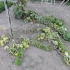 かぼちゃ畝の除草