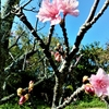寒緋桜の季節