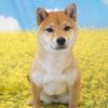 柴犬の牡丹ちゃん