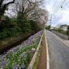 3月28日日曜日 ナノハナとハナダイコンとソメイヨシノ