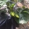 イチゴと種まき