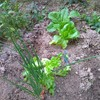 【家庭菜園】本日の収穫報告1005
