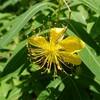 新宿御苑で見た植物①ビョウヤナギ
