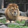 ライオン(とべ動物園)
