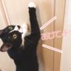 【お宝発見!】おもちゃのありかを知って飼い主におねだりしちゃう猫はこちらです