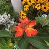 夏に強い~マンション花壇の花達