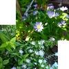 都忘れと丁子草 どちらも晩春の庭に風情を持たせてくれますが---.ミヤコワスレはその姿のままの歴史や逸話が豊富な美しい花.チョウジソウは茶花として用いられる優雅な花ですが,キョウチクトウ科の植物らしく?毒草/薬草の一つです.でも「食べ物と間違えるかどうか」が問題.知っておくことは良いけれど,あまり怖がる必要はありませんね. 通りゆく猫とどまりて都忘れの花嗅ぎたるは何故なりし 宮柊二