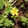 カタバミ - 都会生活に適応したかわいくも強い花 | 植物紹介