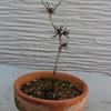 山どり赤松盆栽素材の針金かけ