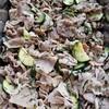 豚肉とズッキーニ、大葉生姜焼き