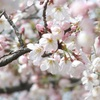 【ソメイヨシノ】日本の桜と言えばやっぱりこれ!〜日本中のソメイヨシノは全てクローンだった!?〜