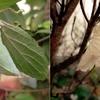 ゴマダラチョウの蛹