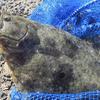 40cmのヒラメが釣れる福井の漁港!