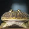 パジェットガエル Lepidobatrachus laevis