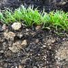 初心者の家庭菜園 ほうれん草、サニーレタス、小松菜結構伸びて来ました