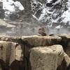 スノーモンキー 地獄谷野猿公苑 温泉に入るサルを間近で観察 駐車場やトイレ情報
