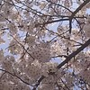 桜はもう少し?