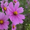 秋桜 この涼しげな花に、人は何を求めているのでしょうか