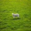 「羊が一匹、二匹」と数えても日本人は絶対に眠れない理由