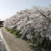 京都さくら散歩(鴨川下流域)