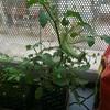 ミニトマト盆栽というジャンルは流行しないだろうか。