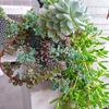 多肉植物を葉挿しで増やしてみよう